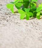 nya leaves för bakgrundsväxt av släkten Trifolium över stenen Fotografering för Bildbyråer