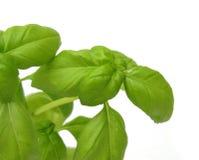 Nya leaves för basilika Arkivfoto