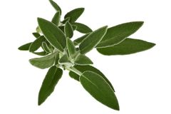nya leaves för basilika arkivfoton