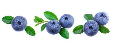 nya leaves för blåbär Arkivfoto