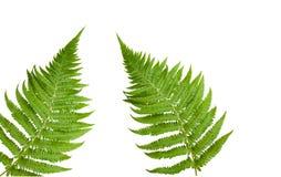 nya leaves för fernferns som öppnar springtime Arkivfoton