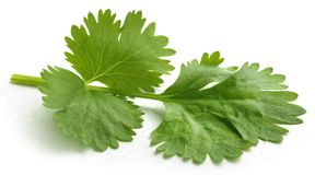 nya leaves för koriander Royaltyfri Foto