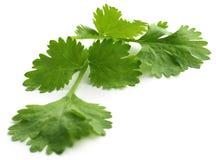 nya leaves för koriander Fotografering för Bildbyråer