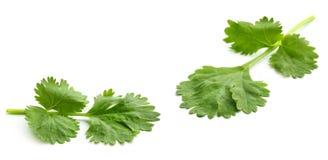 nya leaves för koriander Arkivbilder