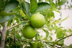 Nya limefrukter på linden Royaltyfri Fotografi