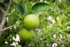 Nya limefrukter på linden Arkivbild