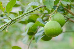Nya limefrukter på träd Fotografering för Bildbyråer