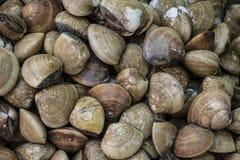 Nya manila samlar musslor bakgrund fotografering för bildbyråer
