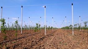Nya moderna äpplen som växer platsen Arkivfoto