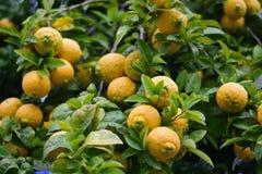 Nya mogna apelsiner på träd Arkivfoton