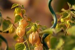 Nya mogna gräsplan- och gulinguddekrusbär hänger på buske i varmt solljus arkivbild