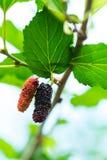 Nya mogna mullbärsträdbär på träd Fotografering för Bildbyråer