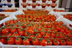 Nya mogna röda tomater i askar i hel försäljning marknadsför Arkivfoton
