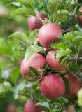 Nya mogna röda äpplen Fotografering för Bildbyråer