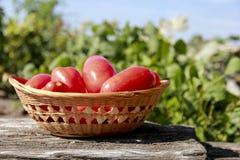 Nya mogna tomater Fotografering för Bildbyråer