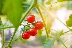 Nya mogna tomater i trädgård Arkivbild