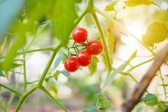 Nya mogna tomater i trädgård Arkivfoton