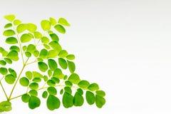 Nya moringa leaves Arkivfoto