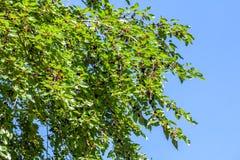 Nya mullbärsträdbär på trädet, mullbärsträdträd Arkivfoton
