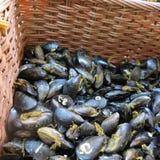 Nya musslor Royaltyfri Bild