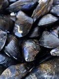 Nya musslor Arkivbilder