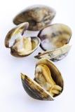 Nya musslor på vit bakgrund Royaltyfri Foto