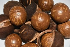 Nya muttrar för Macadamiaträd i Shell And Husk royaltyfri bild