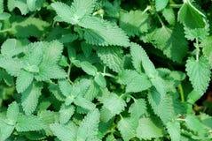 Nya och gröna mintkaramellblad Royaltyfria Foton