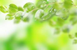 Nya och gröna sidor, naturliga bakgrunder Arkivbild