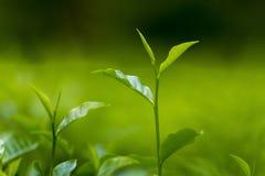 Nya och mjuka teblad i ny trädgård arkivbild