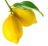 Nya och mogna citroner Royaltyfria Foton