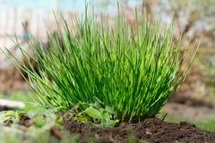 Nya och unga gräslökar Royaltyfri Foto