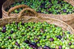 Nya oliv som skördas precis arkivfoton