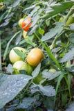 Nya omogna tomatväxter i en eco arbeta i trädgården Arkivbild