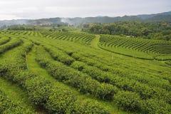 Nya områden för odling för grönt te är rader nära bergen för en naturlig bakgrund royaltyfria foton