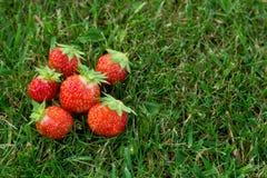 nya organiska jordgubbar Royaltyfria Bilder