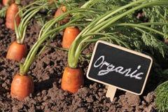 Nya organiska morötter i trädgården Royaltyfri Bild