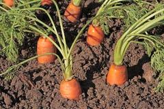 Nya organiska morötter i trädgården Arkivbild
