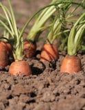 Nya organiska morötter i trädgården Royaltyfri Fotografi