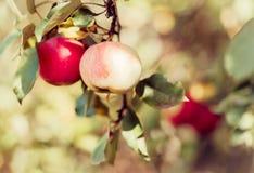 Nya organiska röda äpplen på filial royaltyfri bild