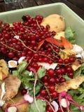 Nya organiska rackar ner på med röda vinbär i en liten plast- hink för återanvändning Royaltyfri Bild