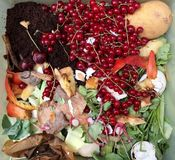 Nya organiska rackar ner på med röda vinbär i en liten plast- hink för återanvändning Royaltyfri Foto