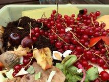 Nya organiska rackar ner på med vinbär i en liten plast- hink Royaltyfria Foton