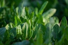 Nya organiska syrasidor mönstrar bakgrund för sallad eller soppa Den första våren gör grön - spenat för syraRumexacetosaen royaltyfri foto