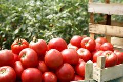 Nya organiska tomater i en spjällåda royaltyfria foton