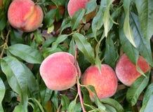 Nya persikor på en filial med gröna sidor Royaltyfri Fotografi