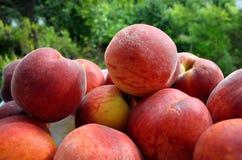 Nya persikor på plattan Royaltyfri Foto