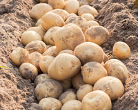 nya potatisar Royaltyfri Bild