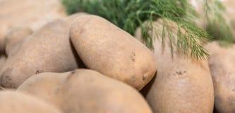 Nya potatisar från trädgården med Arkivfoton