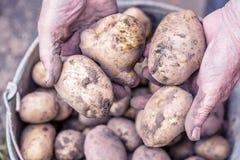 Nya potatisar i gamla äldre händer för bonde` s ovanför hinken tonad bild royaltyfria bilder
